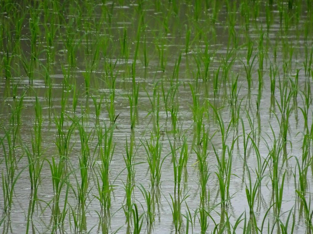雨降り水田