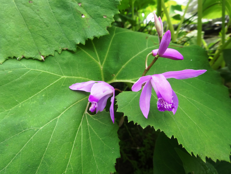 蕗の葉からのぞく紫蘭