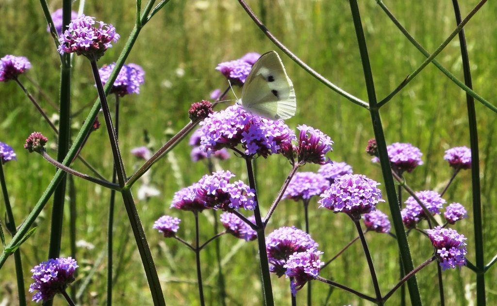 紋白蝶とヤナギハナガサ