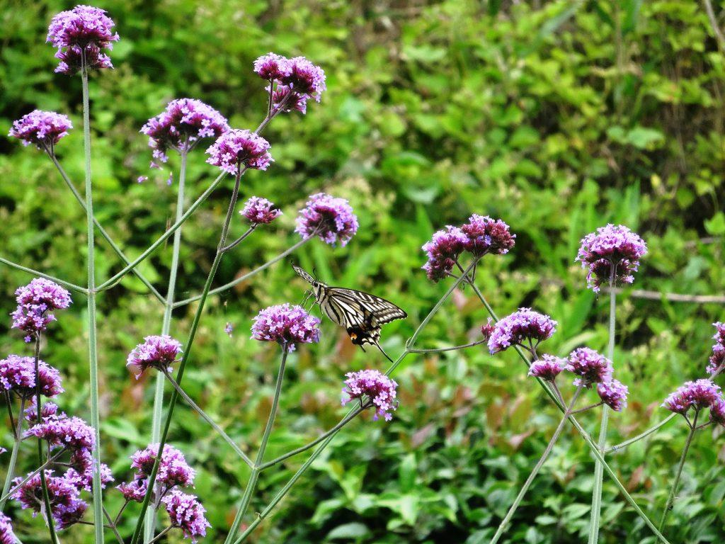ヤナギハナガサとアゲハ蝶
