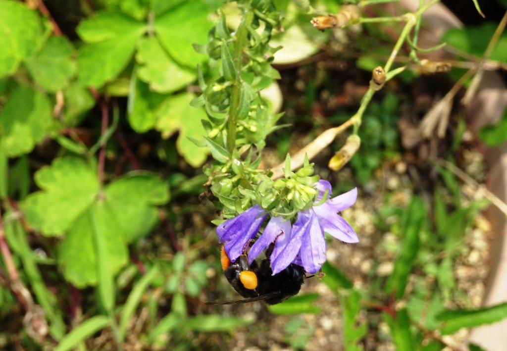 クマンバチ(熊蜂)