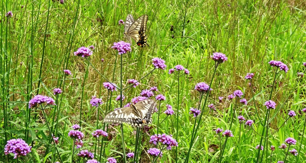 二匹のアゲハ蝶