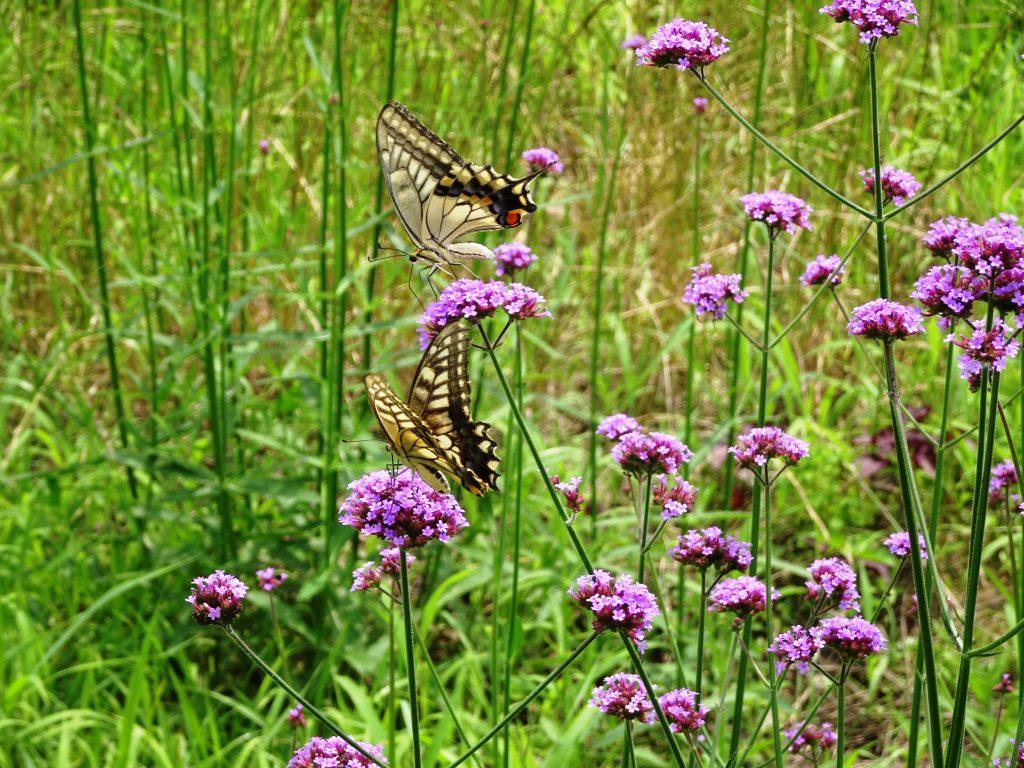 2匹のアゲハ蝶