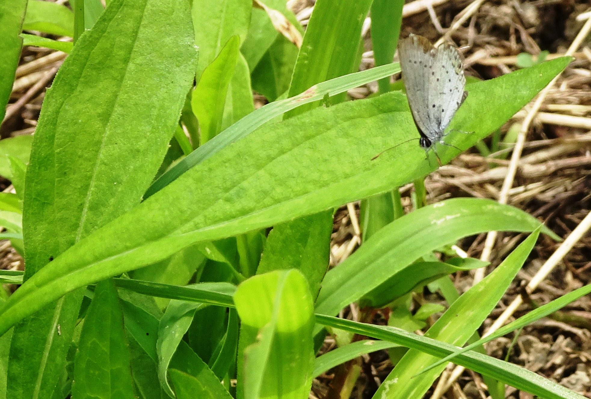 ヤマトシジミ(大和小灰蝶)