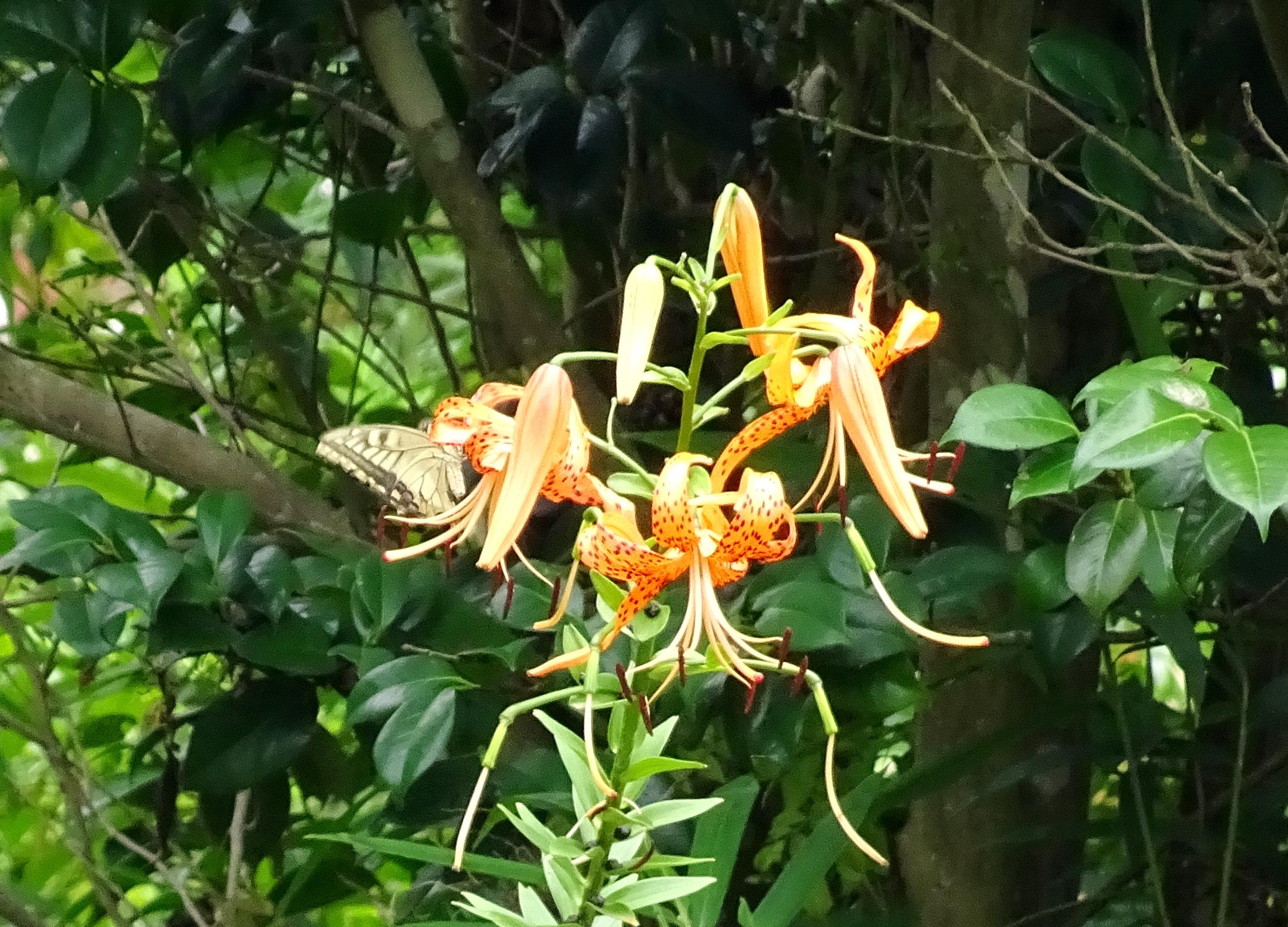 オニユリ(鬼百合)とアゲハ蝶