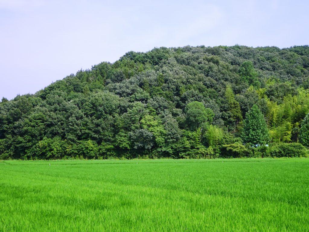 夏の田んぼと山