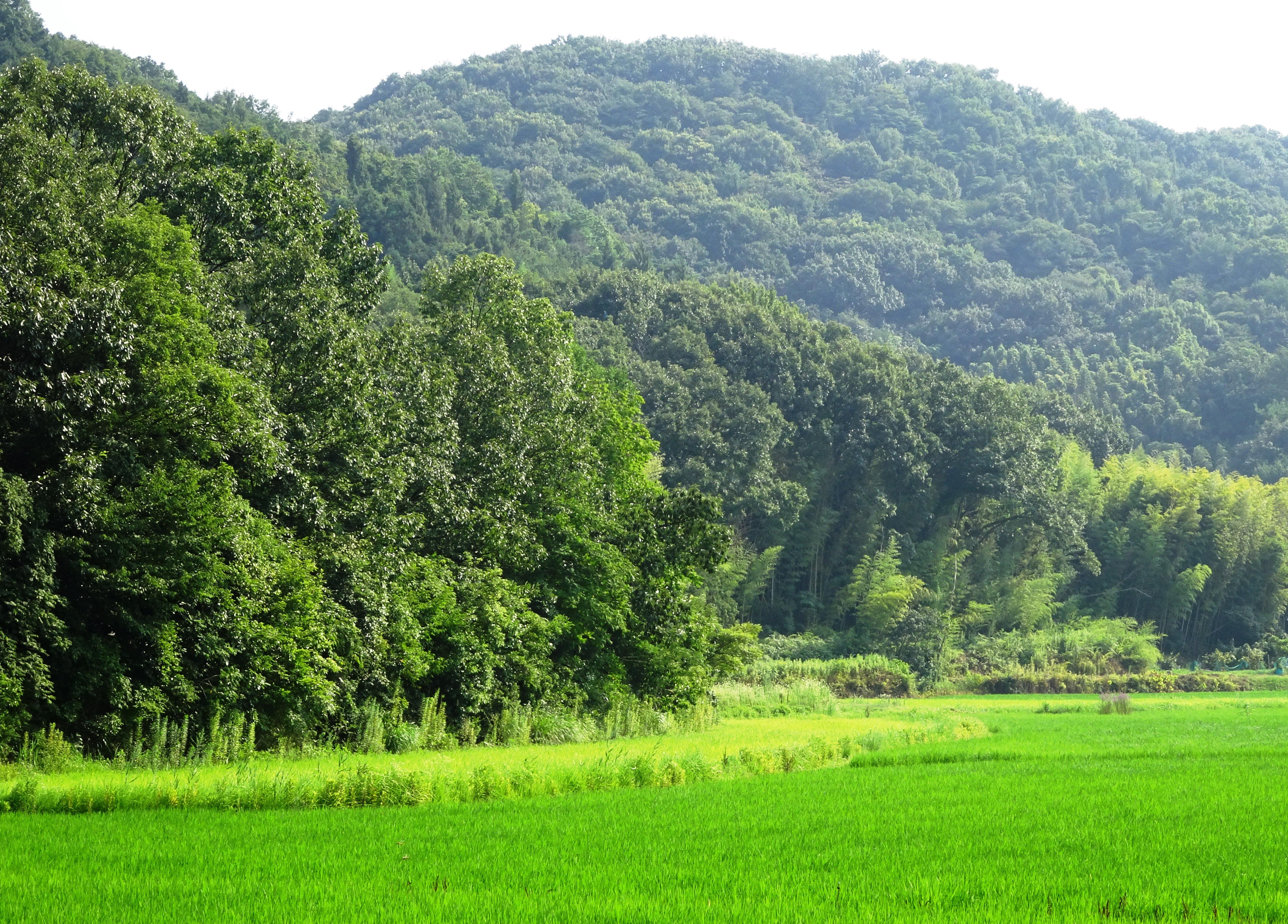 夏の山と田んぼ