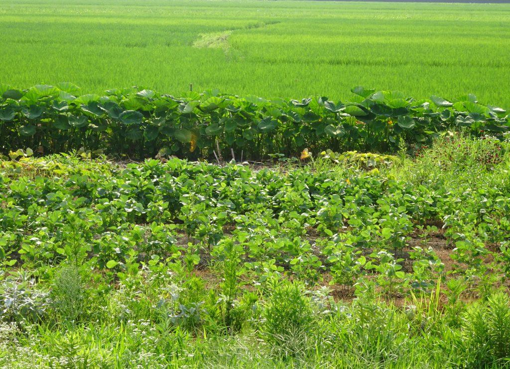 夏の畑(枝豆と里芋)