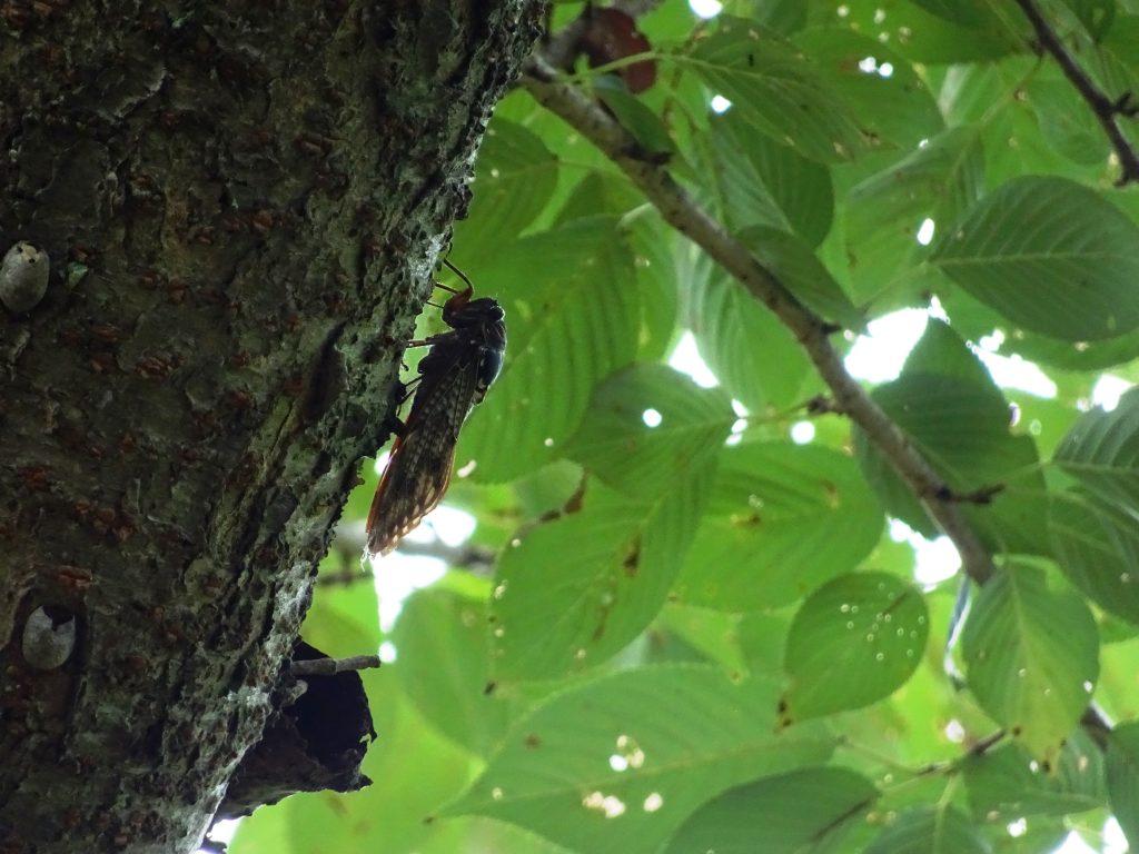 桜の木にとまる油蝉