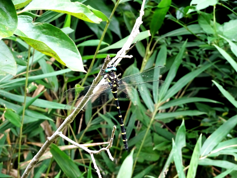オニヤンマ(鬼蜻蜓)
