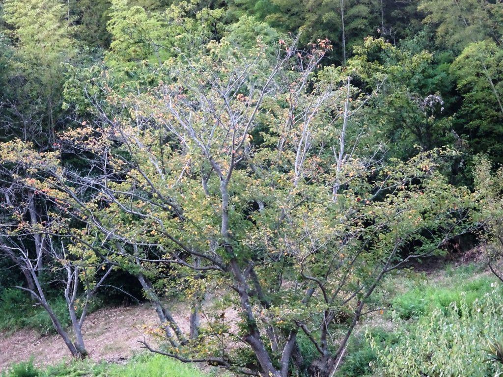 桜の木 夕景