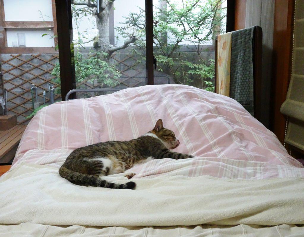 ねこ、風太 ふて寝