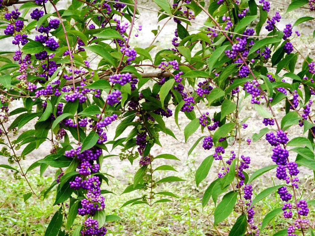 コムラサキ小紫(ムラサキシキブ紫式部)