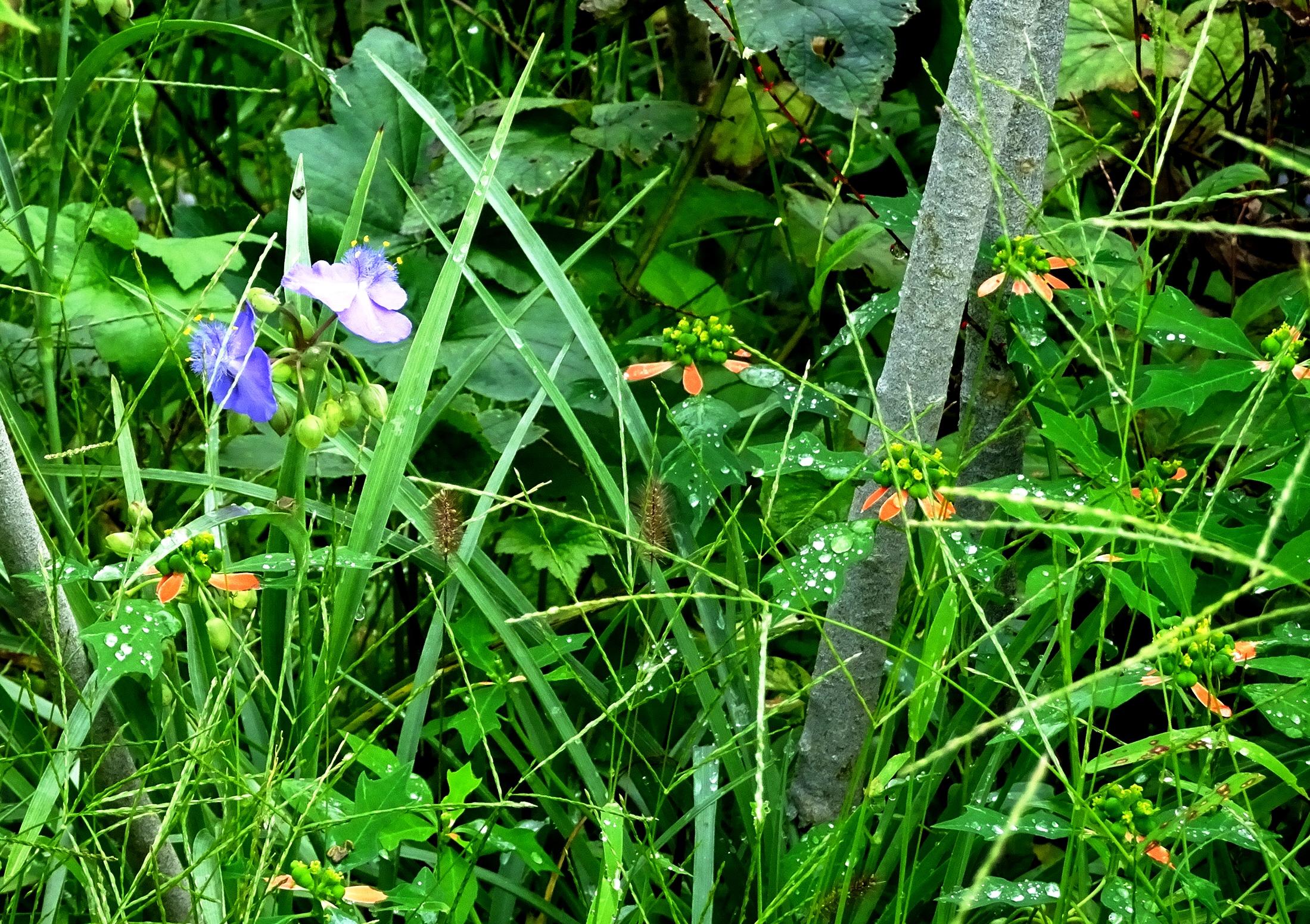 つゆ草と露