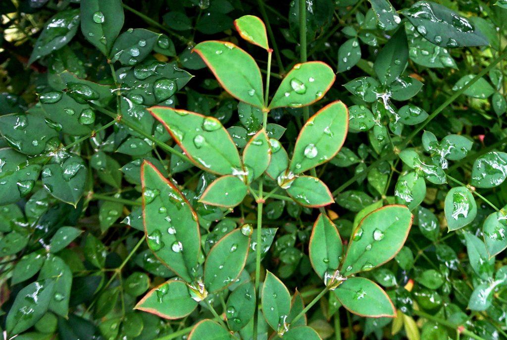 南天の葉 水滴
