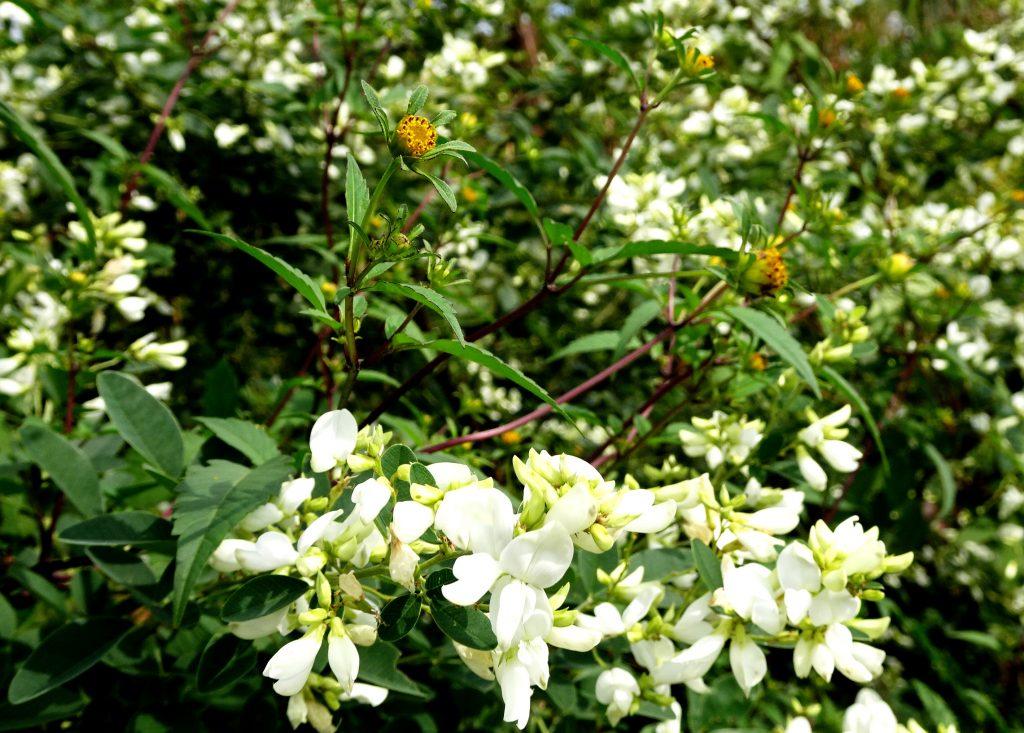 白萩とコセンダングサ(小栴檀草)