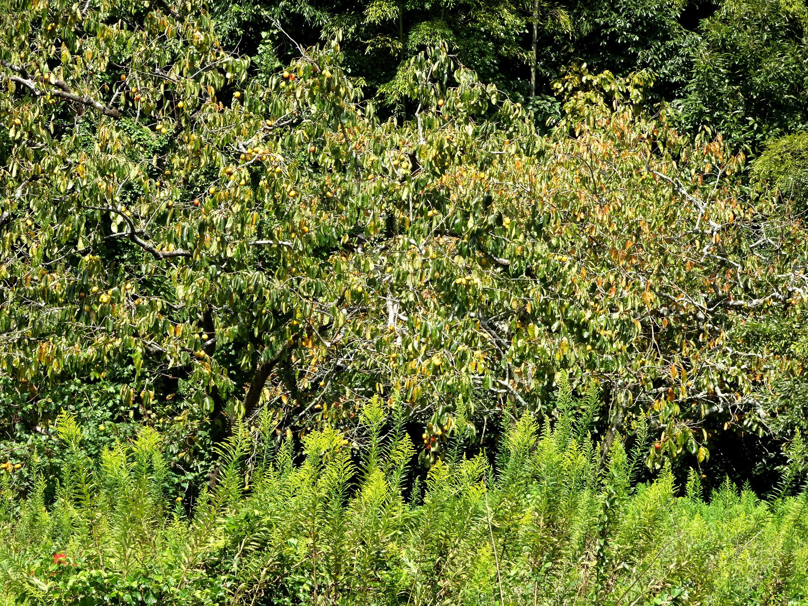 柿の木とセイタカアワダチソウ