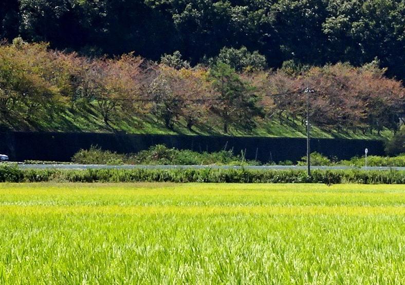 桜の紅葉と田んぼ