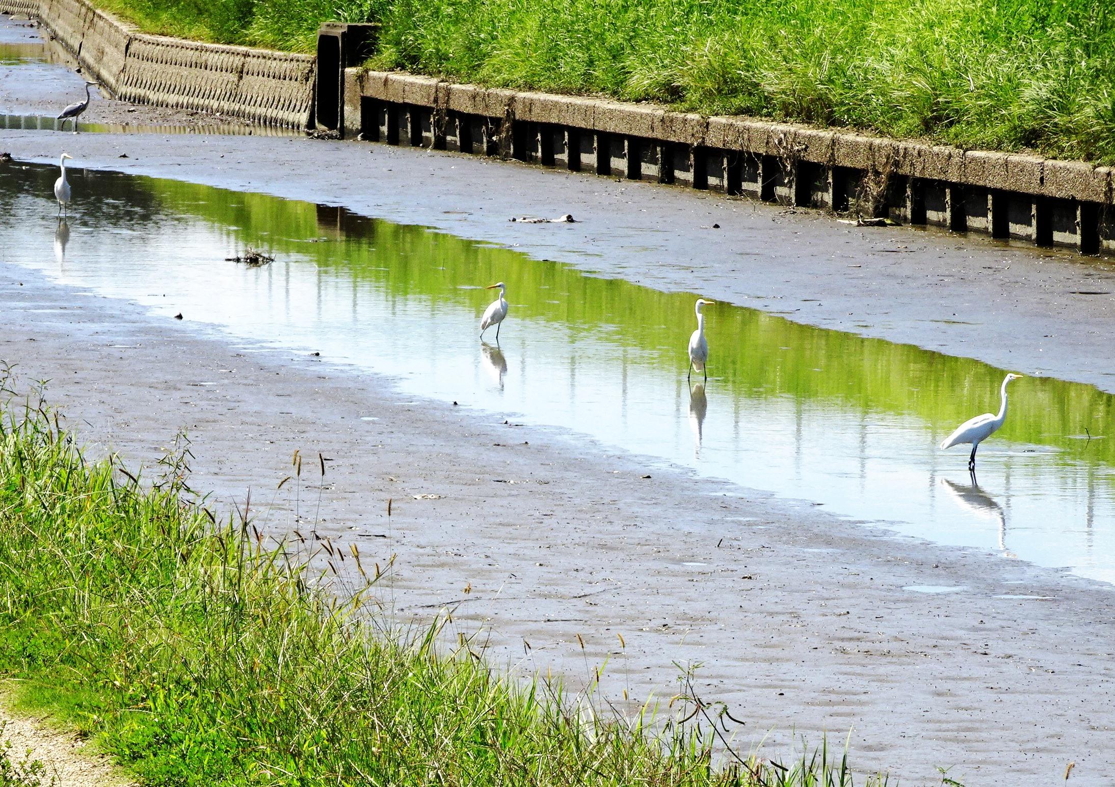 水辺の白鷺