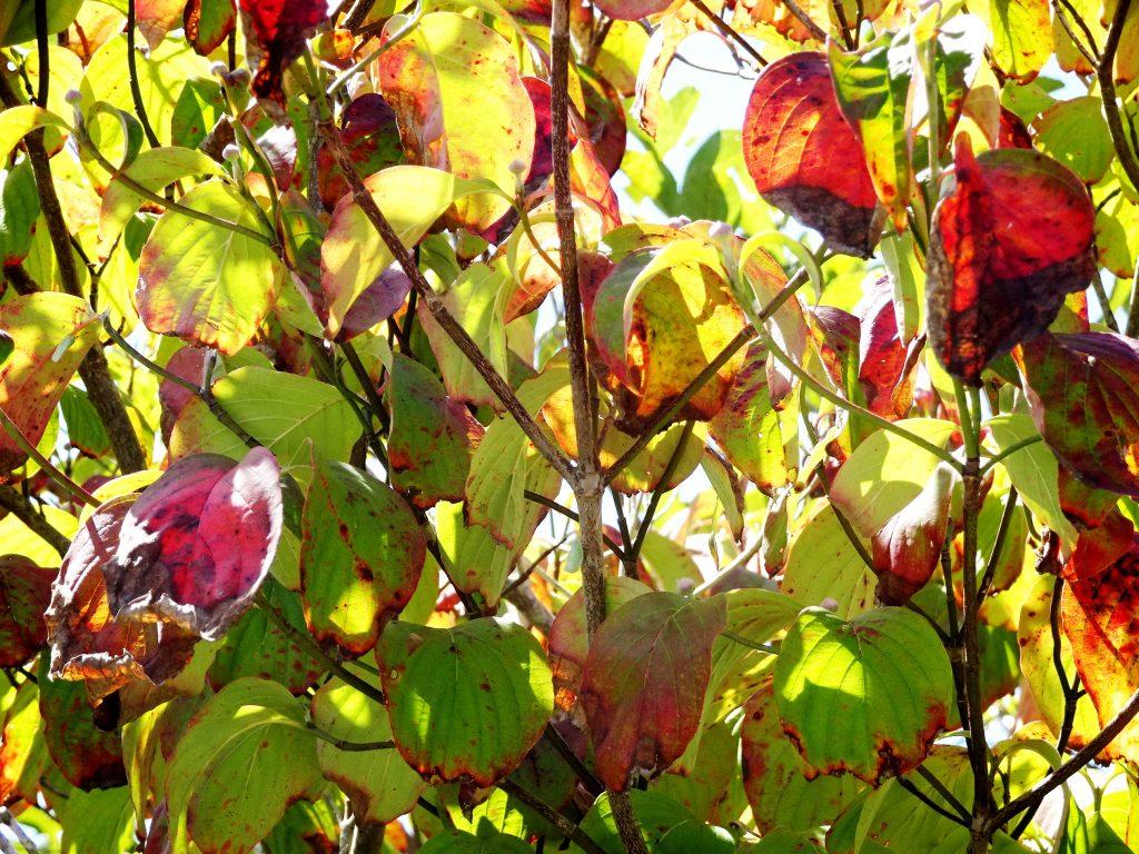 花水木の紅葉