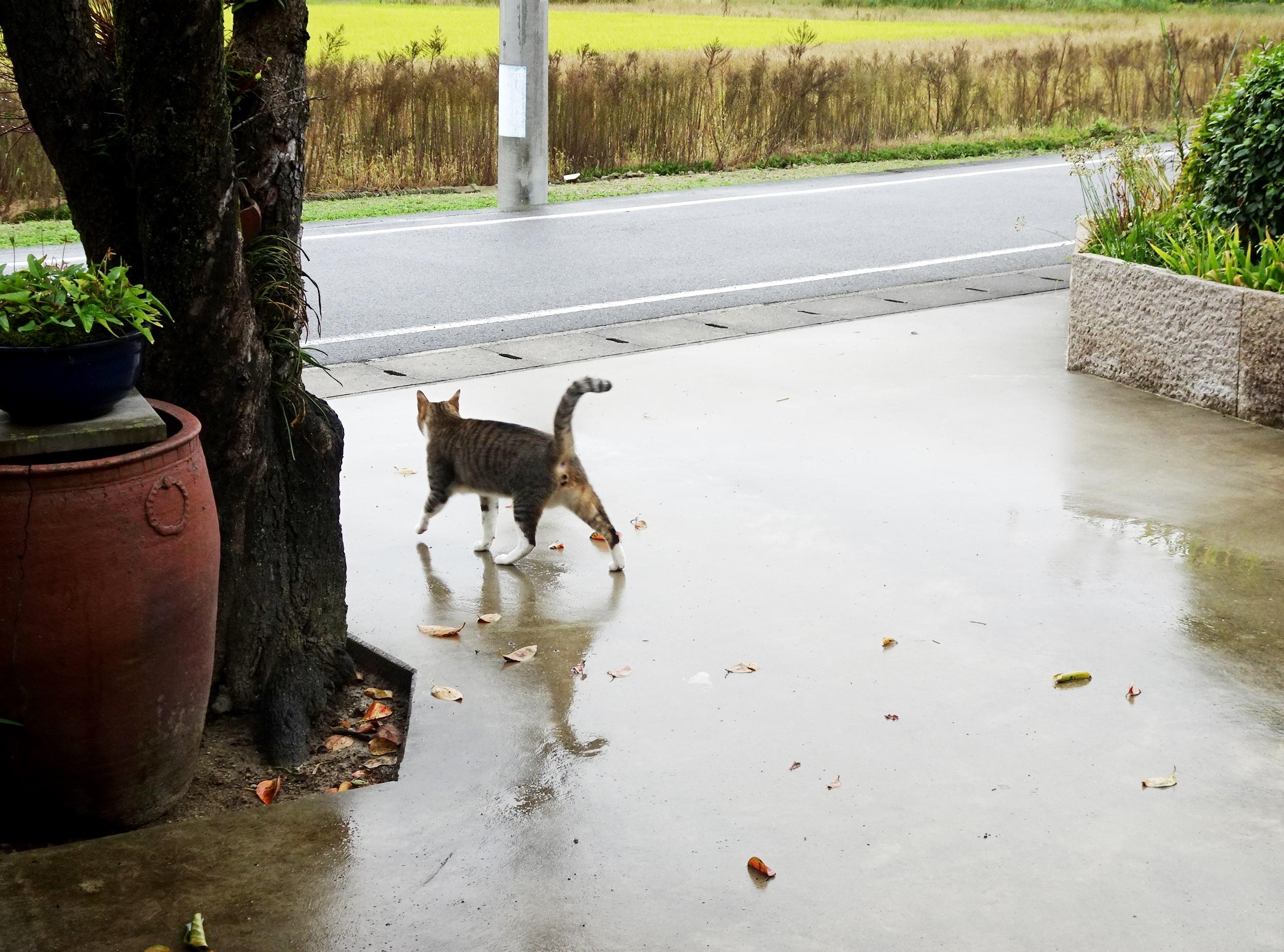 ねこ、風太 雨の日散歩