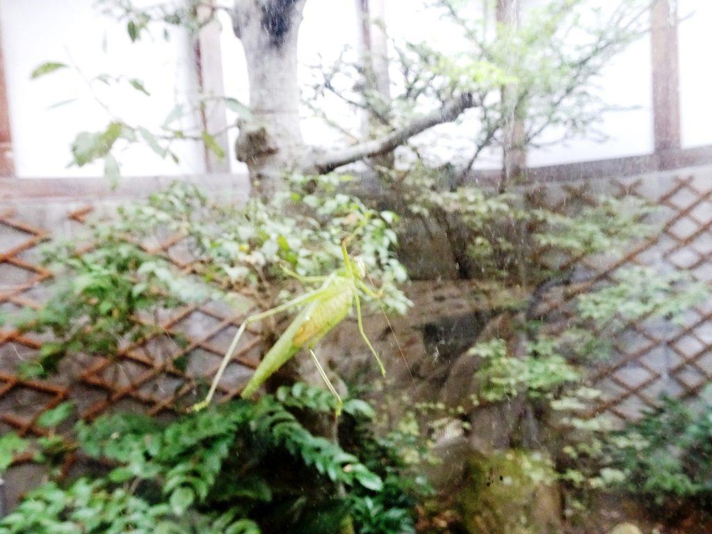 窓の外のキリギリス