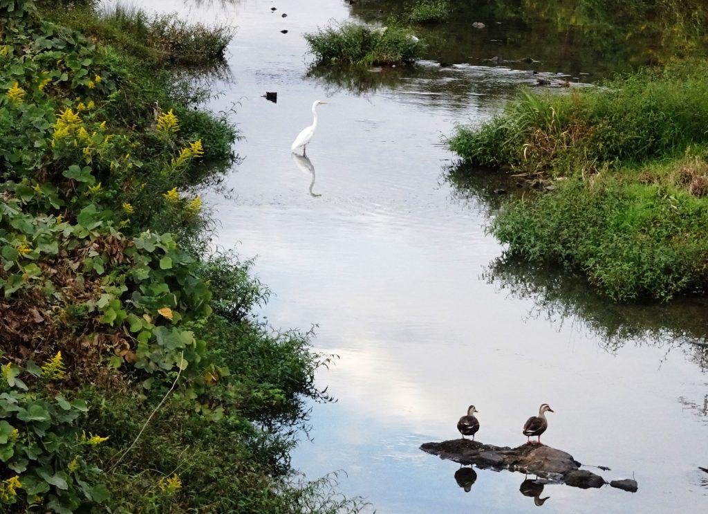 番の鴨と白鷺