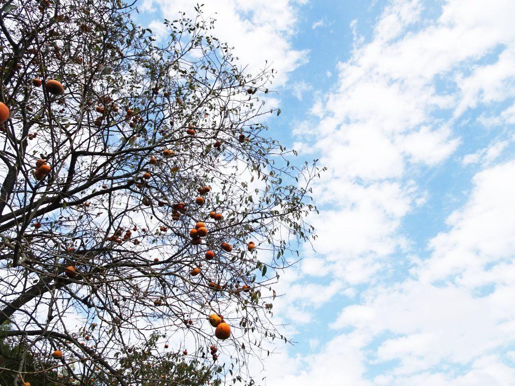 柿の木と青空