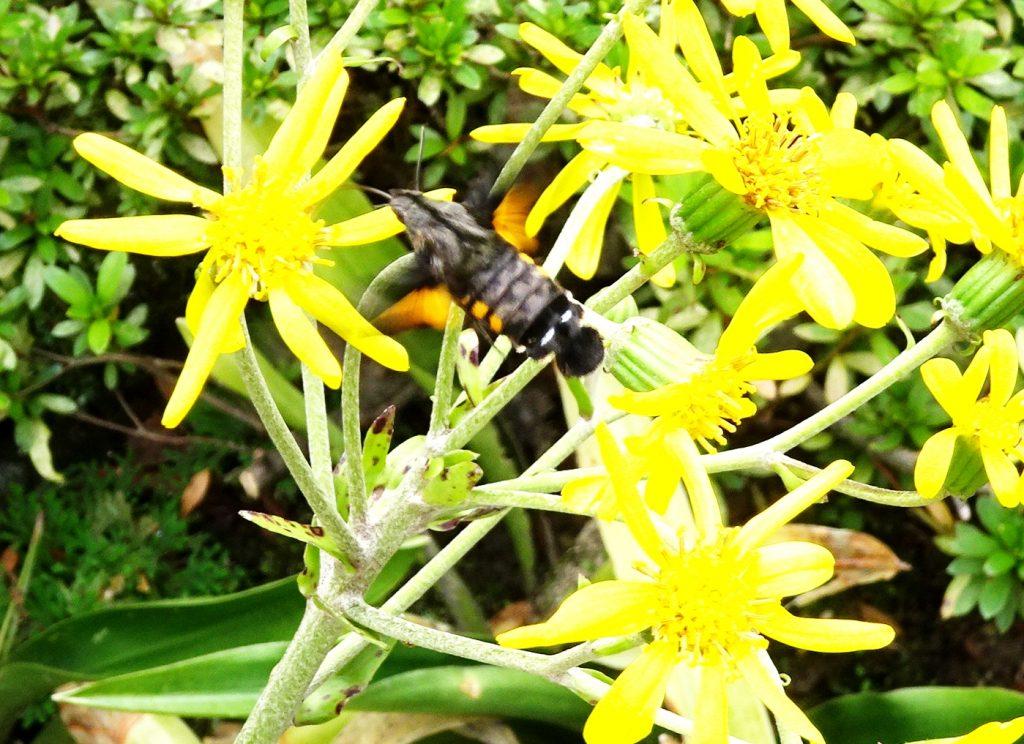 ツワブキの花とホウジャク(蜂雀)