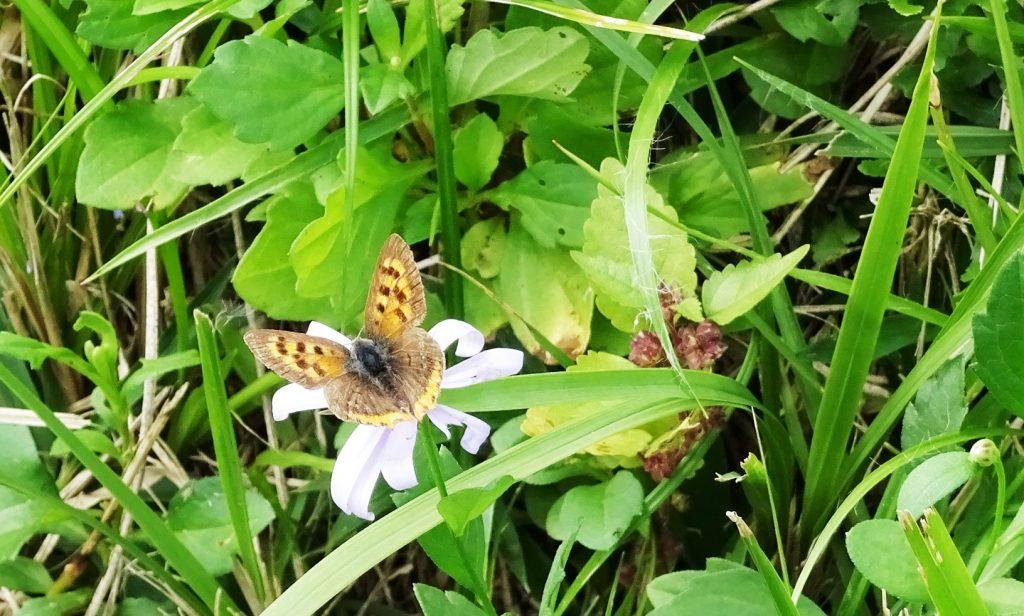 野菊とベニシジミ(紅小灰蝶)