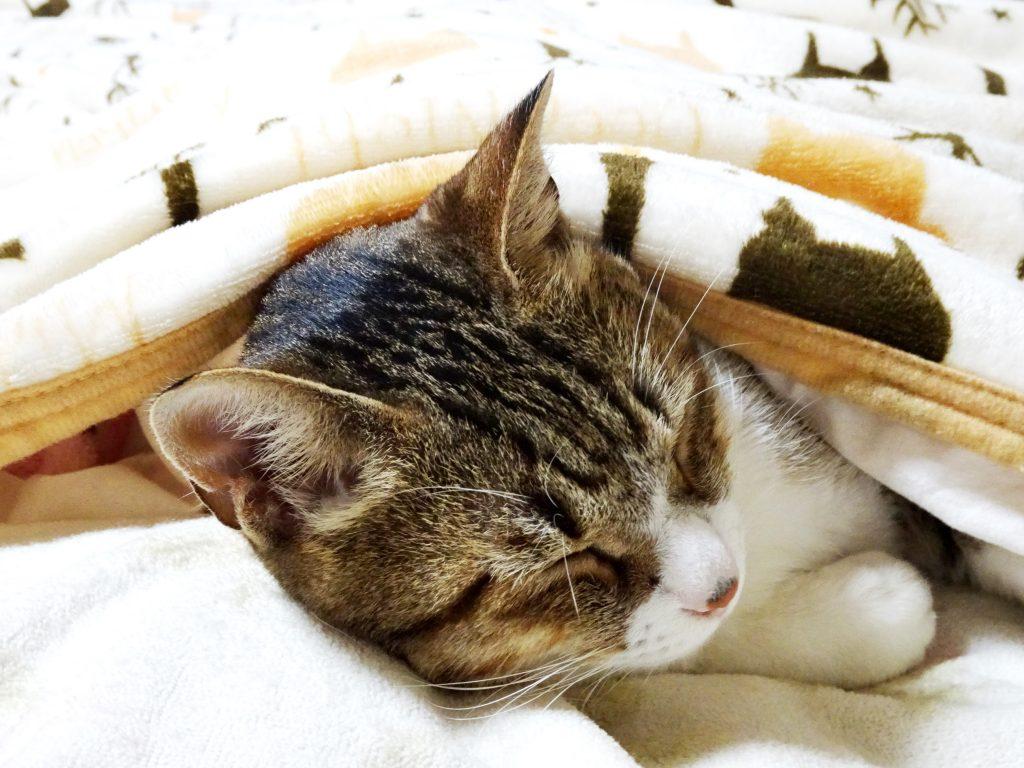 ねこ、風太 ベッドで寝る