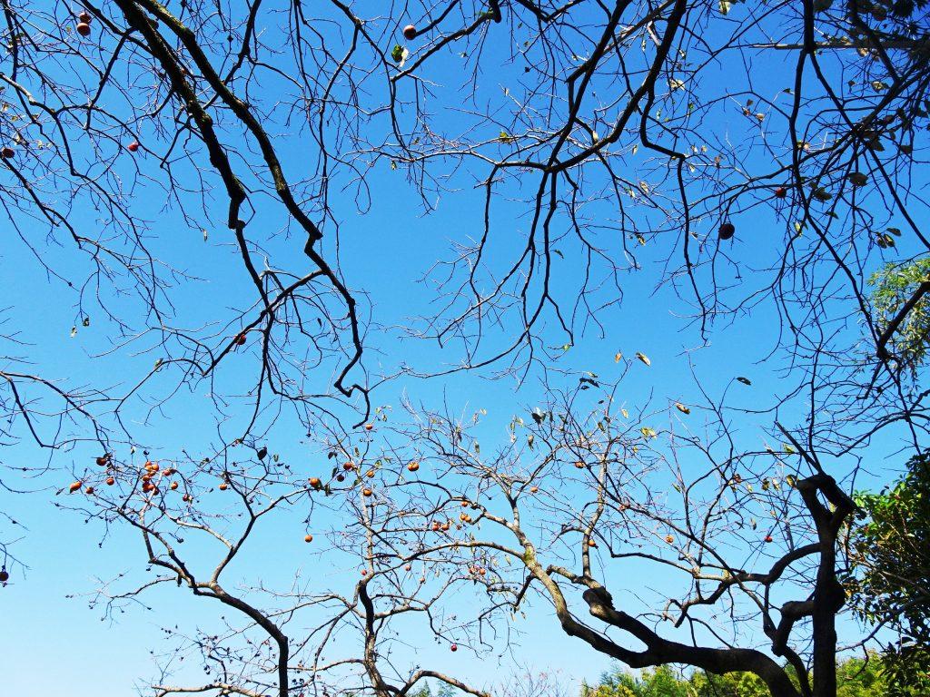 柿の木の枝と青空