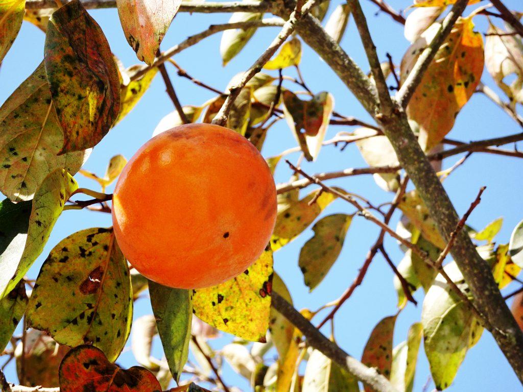 我が家の最後の柿