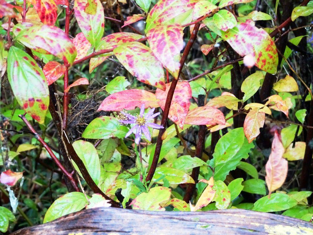 野紺菊と紅葉