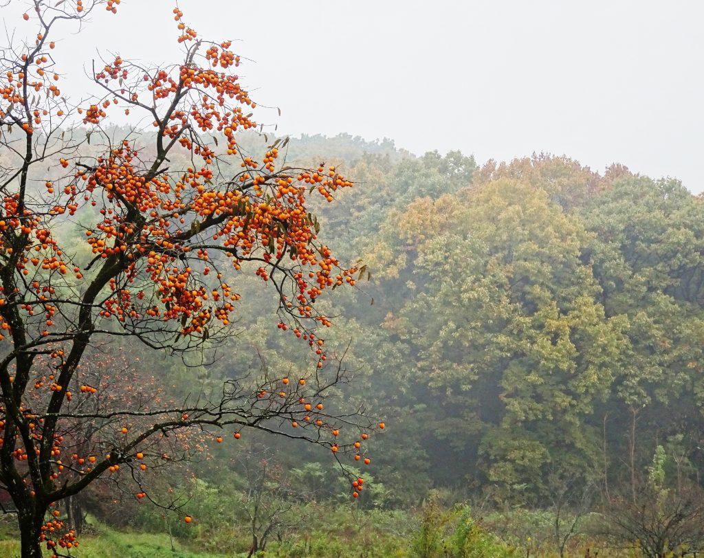 秋の山と柿