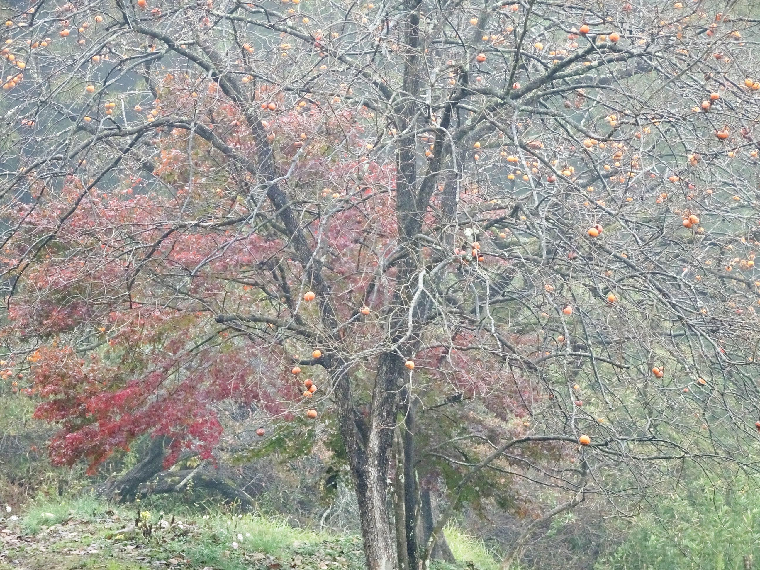 雨あがり 紅葉と柿の木