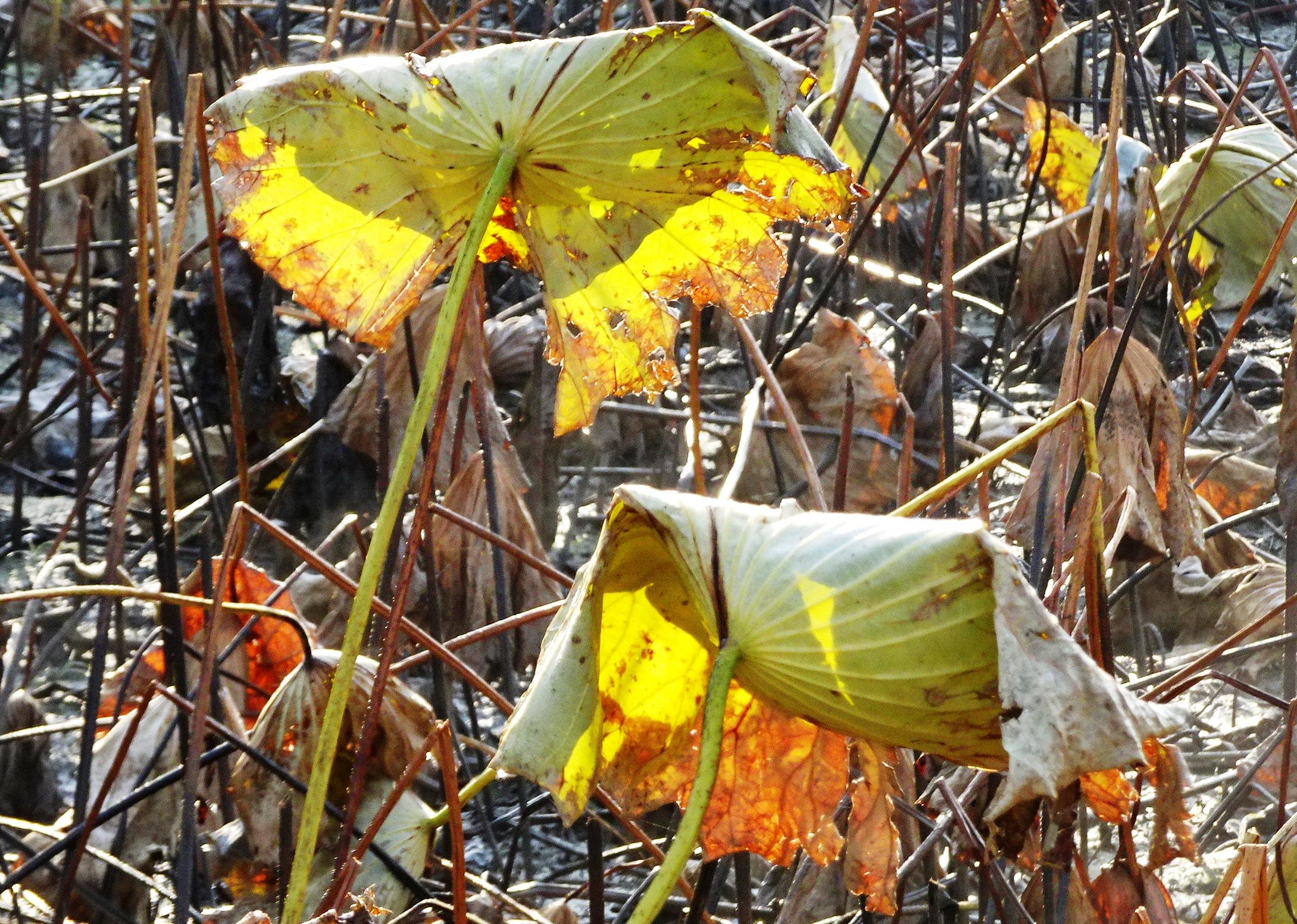 蓮の葉 晩秋