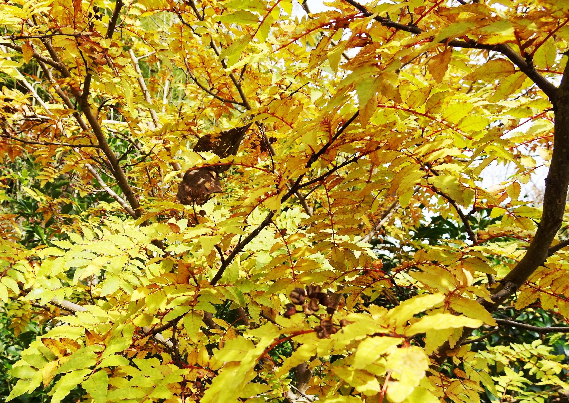 山椒の木 紅葉