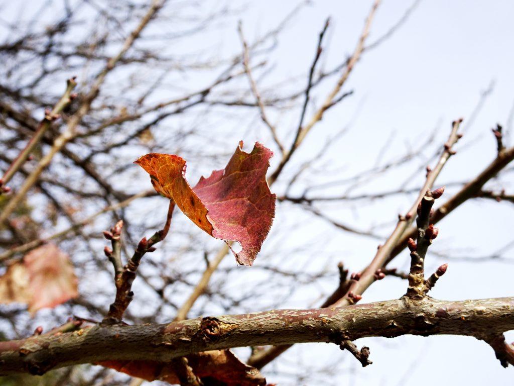 梅の木の最後の一葉