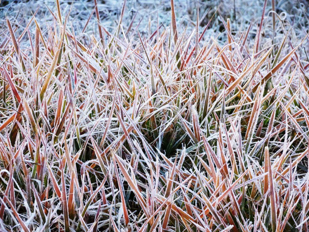 霜の降りた草もみじ