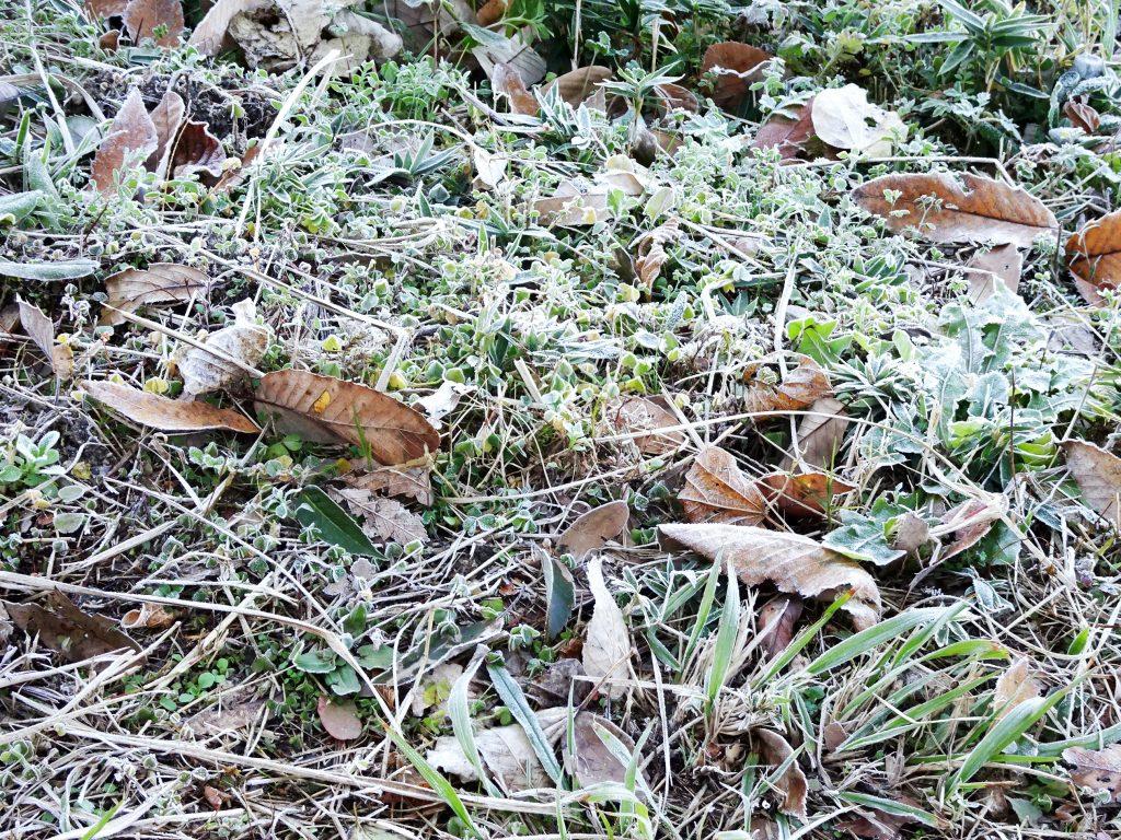 霜の降りた枯れ葉