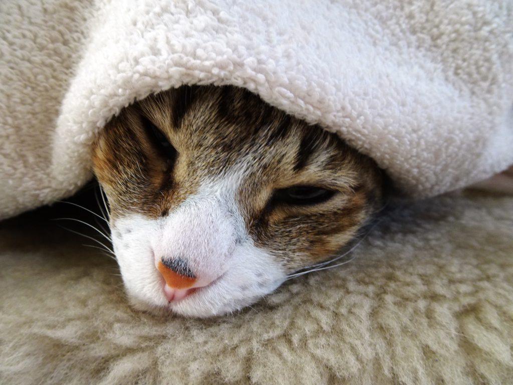 ねこ、風太 寝起き