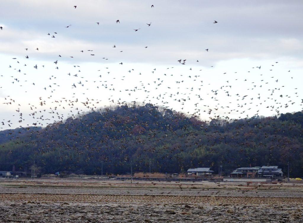 冬の朝 雀 大群