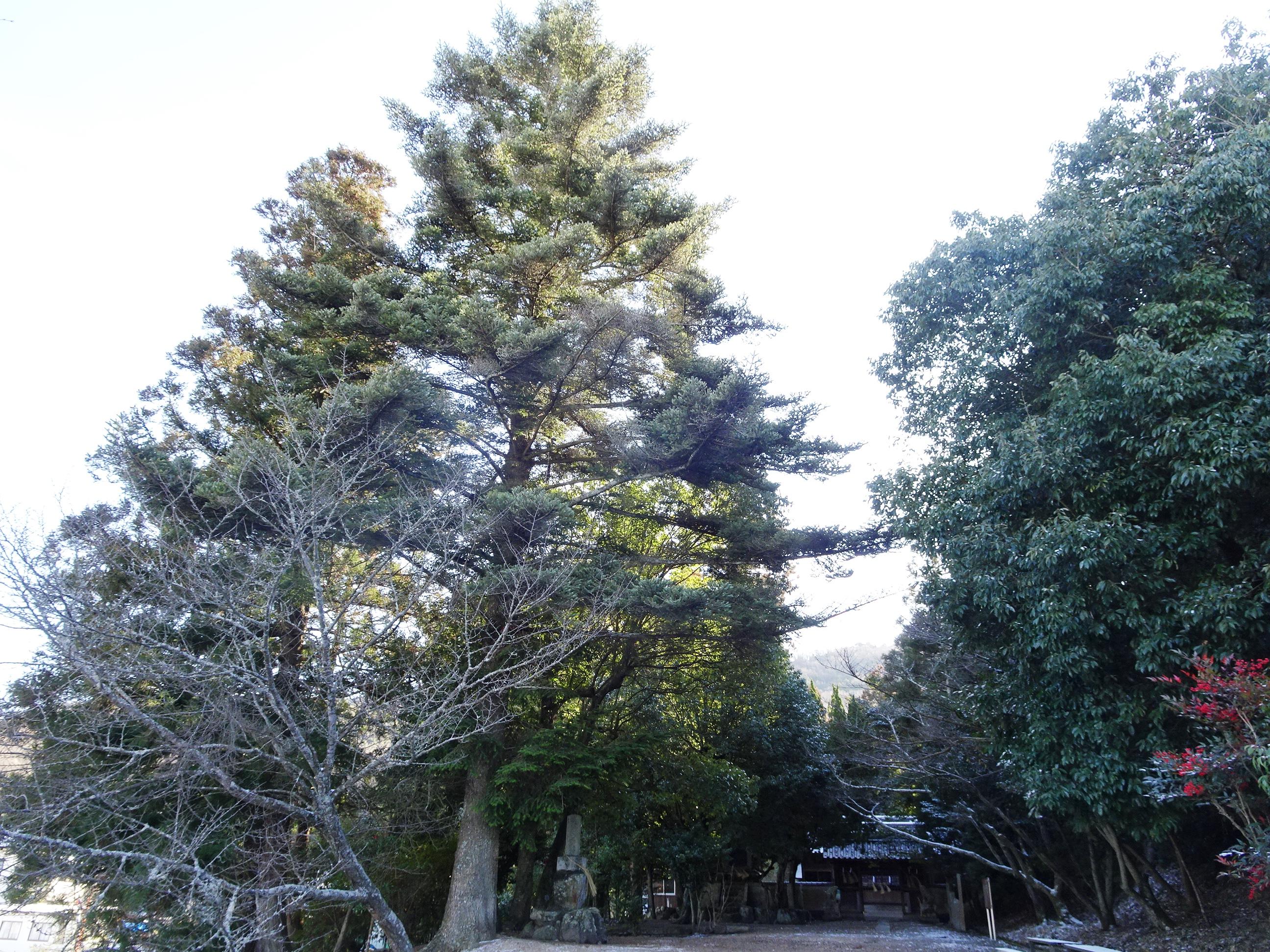 神社の大木
