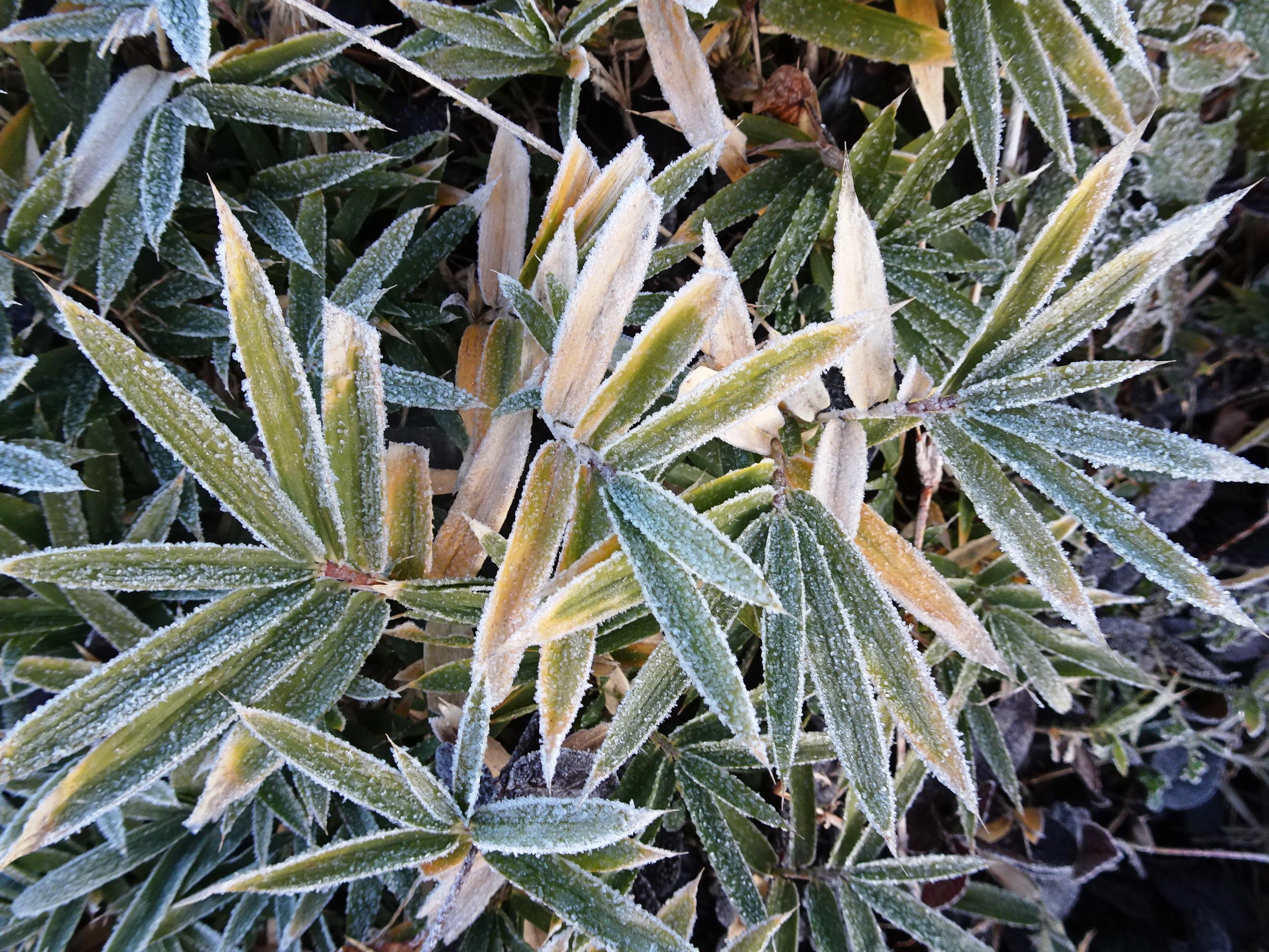 笹の葉と霜