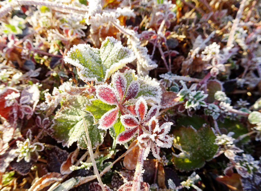 草に降りた霜