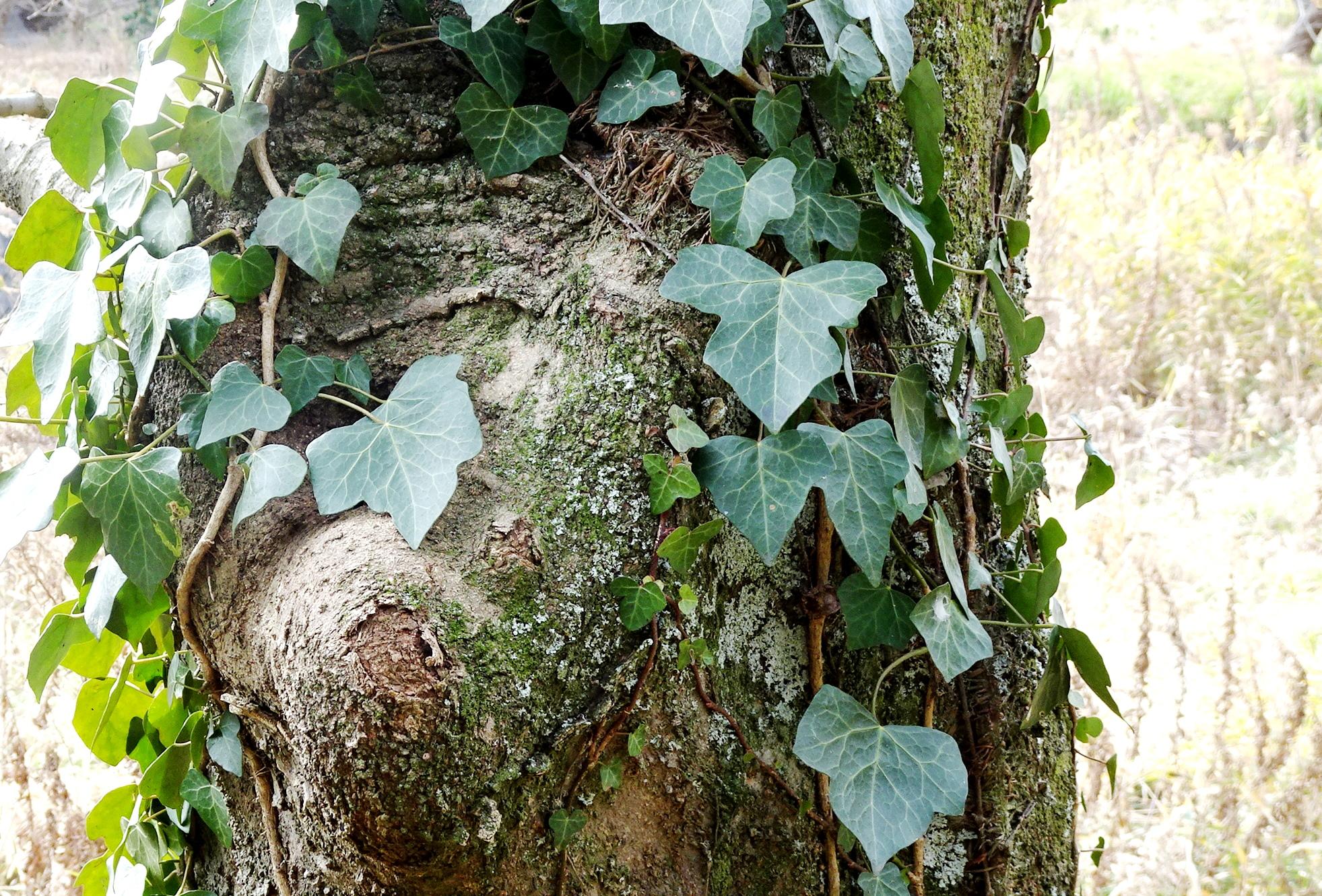 古木に絡まる蔦
