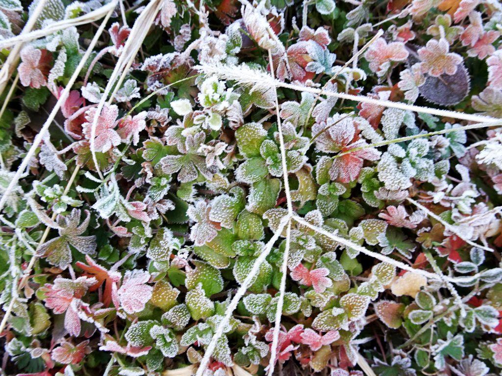 霜の降りた草