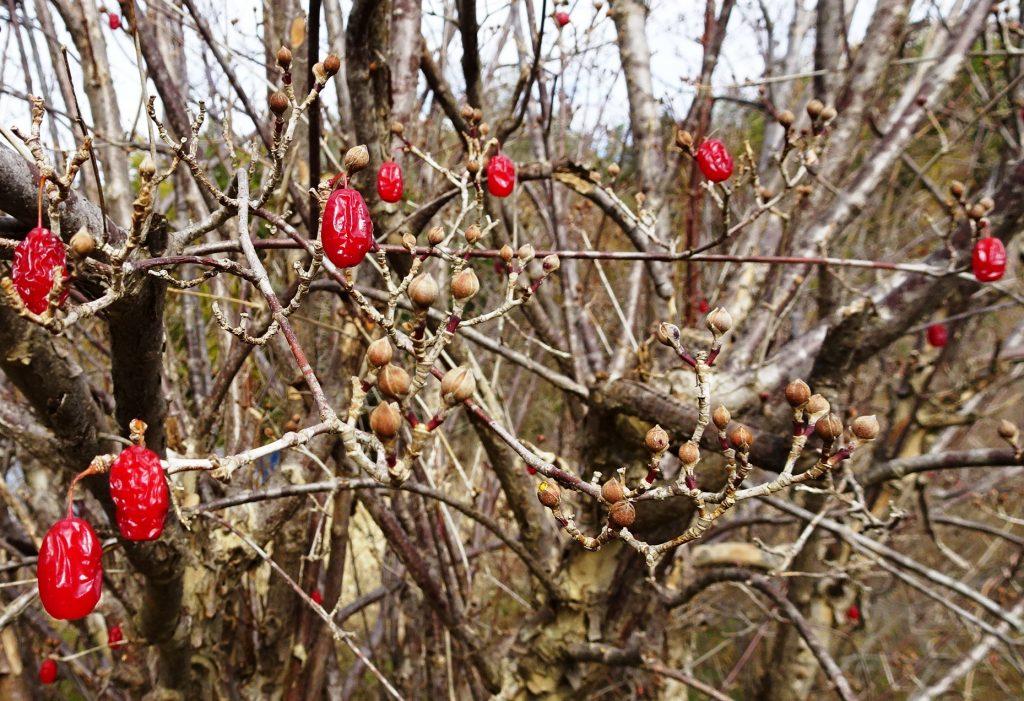 山茱萸の実と蕾