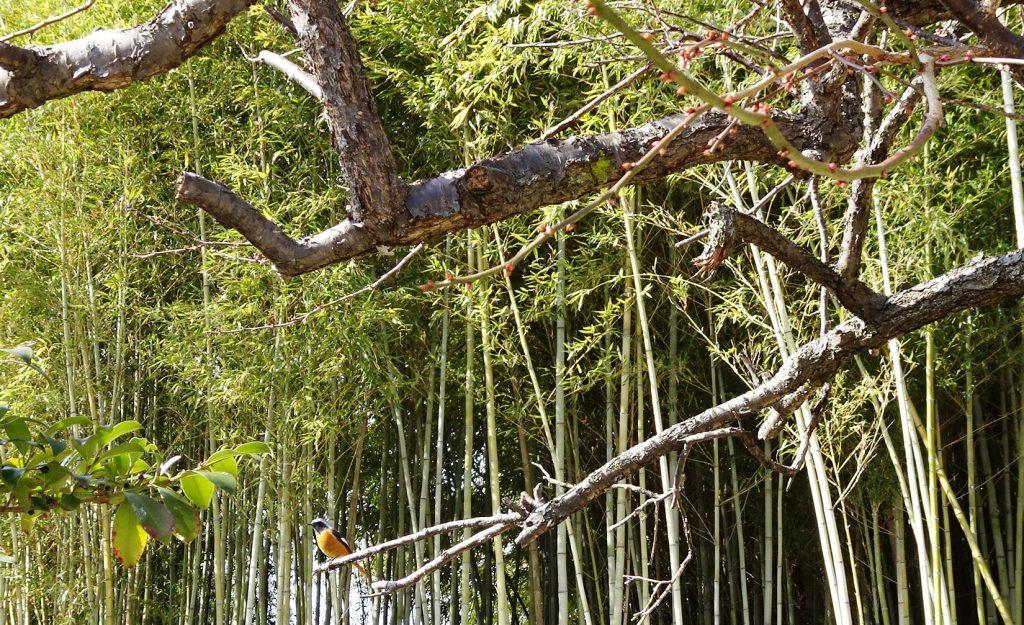 梅の枝にとまるジョウビタキ(尉鶲)